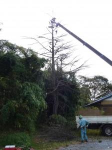 約12〜3Mの樹木伐採