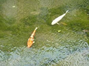 なんと、こんな川に錦鯉。。。